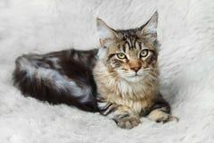 Procione lavatore nero d'argento della Maine del gattino che posa sulla pelliccia bianca del fondo Fotografie Stock Libere da Diritti