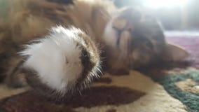 Procione lavatore principale felino fotografia stock libera da diritti