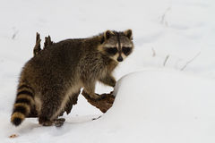 procione in neve immagini stock libere da diritti