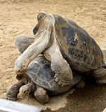 Mating Galapagos Tortoises. Male and female Tortoises attempt to reproduce offspring Royalty Free Stock Photography