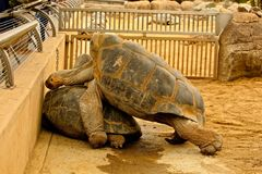 Procreating Galapagos Tortoises. Male and female Galapagos Tortoises attempt to reproduce offspring Royalty Free Stock Photos
