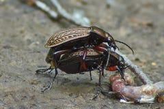 Procriação ocupada jardim dos besouros à terra Foto de Stock