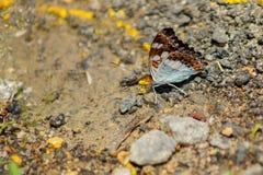 Procris de commandant Butterfly Moduza en Malaisie Photo stock
