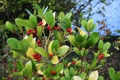Procumbens del Gaultheria de Wintergreen con las bayas rojas Foto de archivo libre de regalías