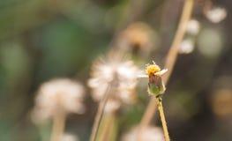 Procumbens L flor de Tridax Imágenes de archivo libres de regalías