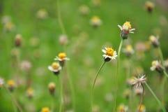 Procumbens Linn di Coldenia. è l'erba per il trattamento di infiammazione, Fotografie Stock