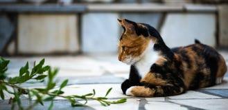 Procumbent katt som ser ett fel royaltyfria bilder