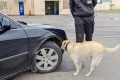 Procura do cão da alfândega de labrador retriever imagem de stock