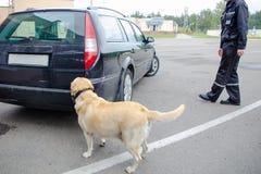 Procura do cão da alfândega de labrador retriever fotografia de stock royalty free
