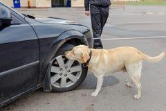 Procura do cão da alfândega de labrador retriever fotografia de stock