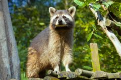 Procyon lotor, American raccoon, Stock Photography
