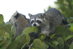Procyon lotor, raccoon Royalty Free Stock Images