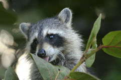 Procyon lotor, raccoon Royalty Free Stock Photo
