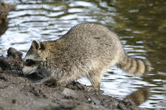 Procyon lotor, raccoon Stock Photos