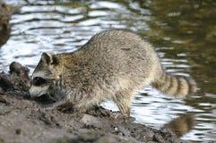 Procyon lotor, raccoon Stock Photos