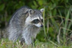 Procyon lotor, raccoon Stock Image