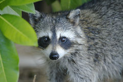 Procyon lotor, raccoon Stock Images