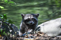 Procyon lotor. Raccoon baby leaping out of a lake Stock Photo