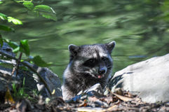 Procyon lotor. Raccoon baby leaping out of a lake Royalty Free Stock Image