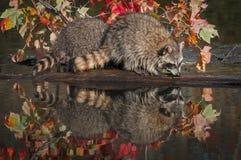 Procyonlotoren för två tvättbjörnar sniffar längs journal Royaltyfria Bilder
