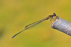 Prodasineura humeralis male Orange-striped Thread. Tail damselfly in the parks Stock Image