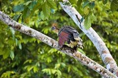 Prodigious Hoazin, Opisthocomus hoazin,Lake Sandoval, Amazonia, Peru Stock Photography