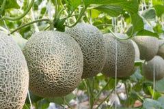Prodotti organici del melone dall'azienda agricola Immagini Stock Libere da Diritti
