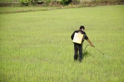 Prodotto chimico di spruzzatura dell'agricoltore per diserbante nel campo del riso o della risaia Fotografia Stock