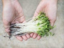 Prodotto di fattoria organico di verdure della tenuta della mano Fotografie Stock