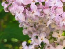 prodr de la planta flores de la tiza púrpura fotos de archivo