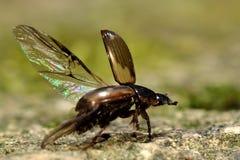 Prodromus Aphodius που τρέπεται σε φυγή Στοκ εικόνα με δικαίωμα ελεύθερης χρήσης
