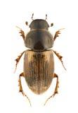 prodromus aphodius Στοκ Εικόνες