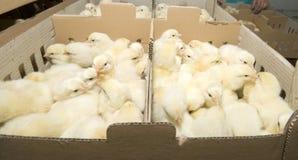 Produção da galinha na exploração agrícola Fotos de Stock