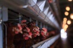 Produção do ovo da galinha da fábrica As galinhas vermelhas são assentadas no speci foto de stock royalty free