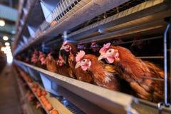 Produção do ovo da galinha da fábrica As galinhas vermelhas são assentadas no speci fotos de stock royalty free