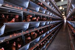 Produção do ovo da galinha da fábrica As galinhas vermelhas são assentadas no speci fotos de stock