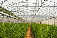 Produção do tomate da estufa Foto de Stock