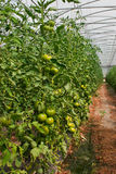 Produção do tomate da estufa Imagens de Stock Royalty Free