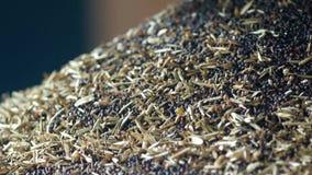 Producción de aceite de rabina, proceso de la rabina de la semilla oleaginosa, fuente de semillas oleaginosas de rabina a la pren almacen de metraje de vídeo