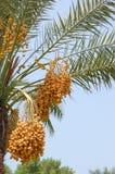 Producción de la palma datilera (Phoenix dactylifera) Fotos de archivo