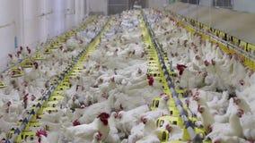Producción de las aves de corral de la granja de pollo almacen de metraje de vídeo
