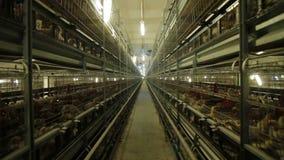 Producción de las aves de corral de la granja de pollo almacen de video