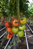 Producción del tomate Fotos de archivo