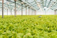 Producción industrial de lechuga y de verdes Invernadero grande ligero cerrado imagenes de archivo