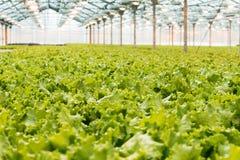 Producción industrial de lechuga y de verdes Invernadero grande ligero cerrado foto de archivo libre de regalías