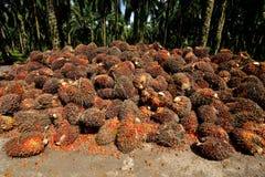 Producción petrolífera de palma en Malasia Imagen de archivo