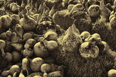 The Produce Of The Earth In Sepia. These are the wonderful gourds, Lagenaria siceraria, that are used to make purple martin houses, and things like boxes, and royalty free stock photography