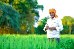 Producteur indien tenant la plante cultivée dans son domaine de blé image stock