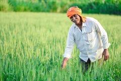 Producteur indien tenant la plante cultivée dans son domaine de blé images libres de droits
