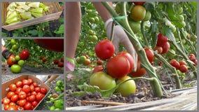 Productie van organische plantaardige tomaten en peper stock videobeelden